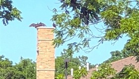 Turke Vultures on Jericho House bell tower